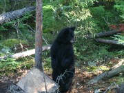 Bear Stand